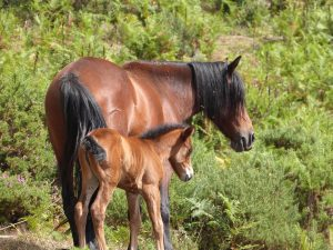 Égua (raça garrano) e o seu poltro